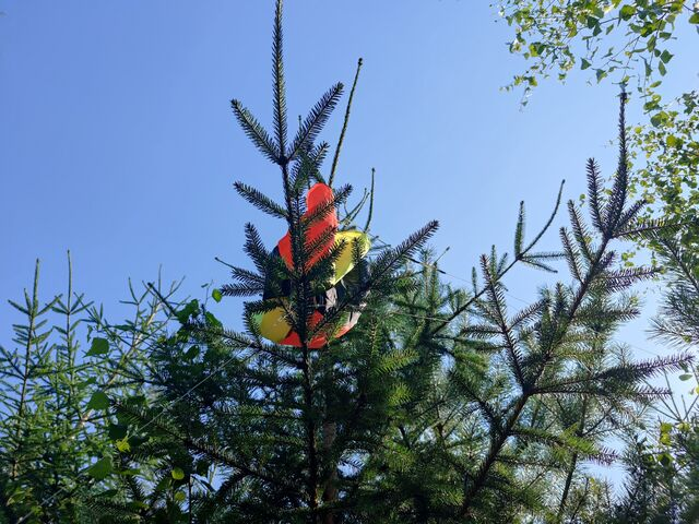 The parachute was on a branch of a small tree, also in perfect condition. (photo by OH3BHX)